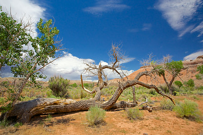 Dead Tree on Ground in Utah
