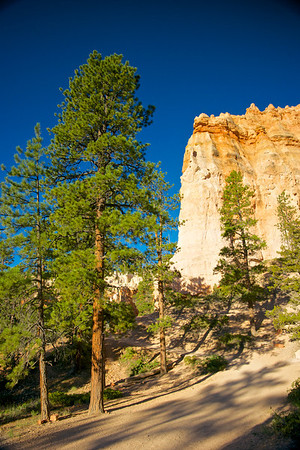 Pine Trees and Hoodoos