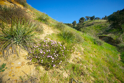 Purple Wildflowers on California Hillside
