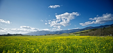 Beautiful yellow mustard flowers in a gorgeous field near Ojai, California.