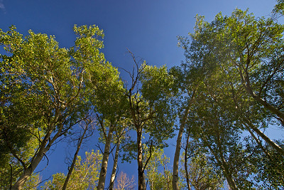 A ground-level view of aspen trees blowing in a summer breeze.