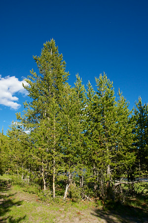 Stand of Pine Trees
