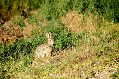 Rabbit Sits in Grass