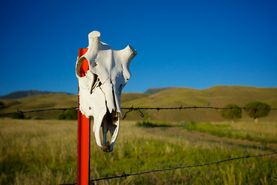 Animal Skull on Fence Post