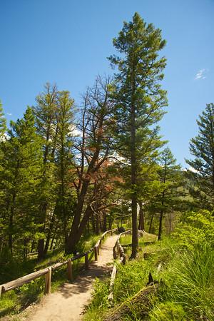 Trail Through Yellowstone Trees