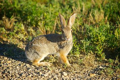 Rabbit Stands on Grass