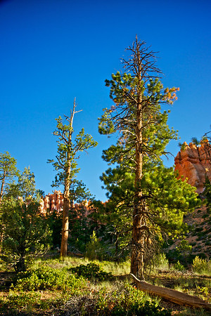 Tall Pine in Bryce Canyon