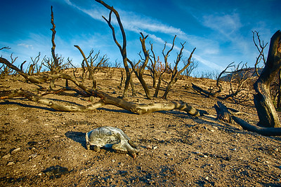 Animal Skull in Wildfire