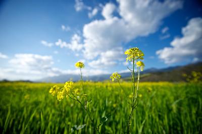 Mustard blossom closeup in a California field outside of Ojai.