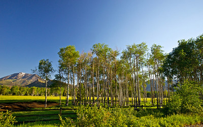 A clump of growing aspen trees grows in a mountain meadow in the Wyoming mountains.