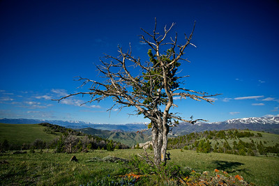 A pine grows on a wind-blasted mountaintop in the wilds of Wyoming